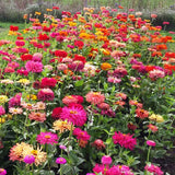 Zinnia Giant Cactus Mix