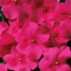Impatiens Accent Burgundy F1