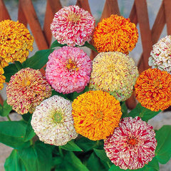 Zinnia Peppermint Stick Mix