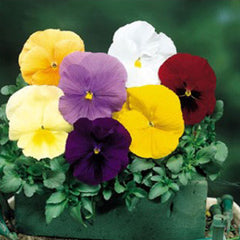 Pansy Delta Pure Mix F1