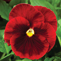 Pansy Delta Premium Red Blotch F1