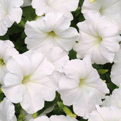 Petunia Easy Wave White F1 Seeds
