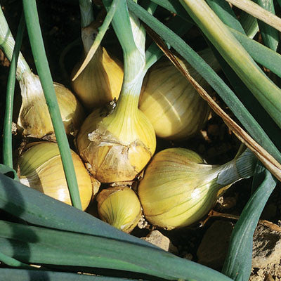 Onion Yellow Stuttgarter Sets - Bulk