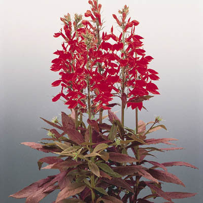 Lobelia Fan Scarlet F1 Harris Seeds