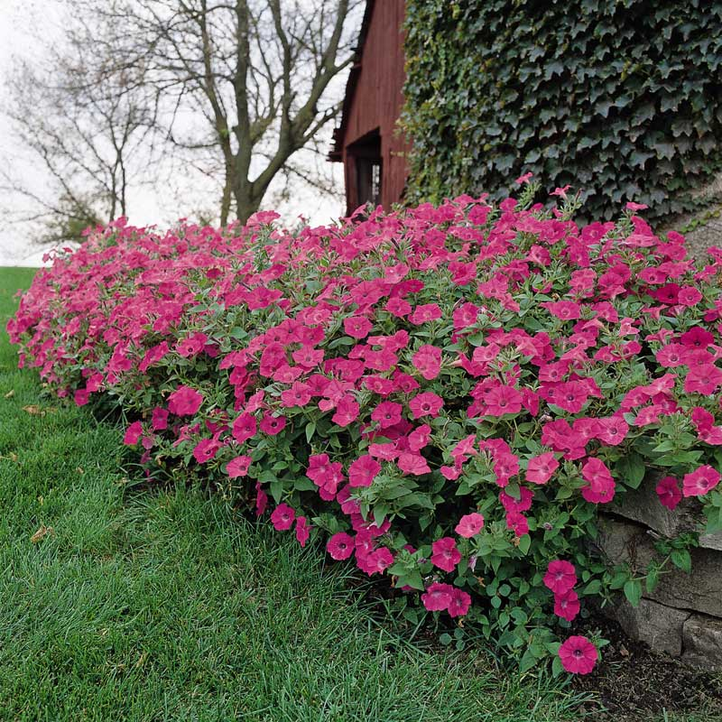 Petunia Tidal Wave Hot Pink F1