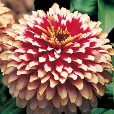 Zinnia Swizzle Cherry and Ivory F1