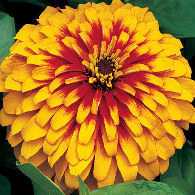 Zinnia Swizzle Scarlet and Yellow F1
