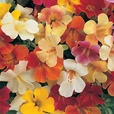 Mimulus Magic Mix F1