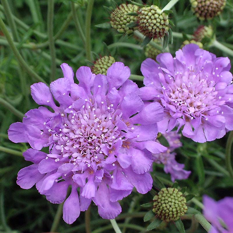Picture of Live Butterfly Blue Pincushion Flower aka Scabiosa Butterfly Blue Plant Fit 1QRT Pot