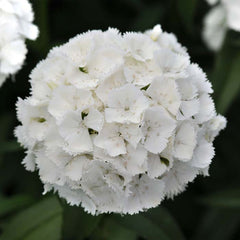 Dianthus Sweet White F1