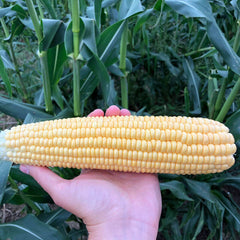 Sweet Corn Illini Xtra-Sweet F1