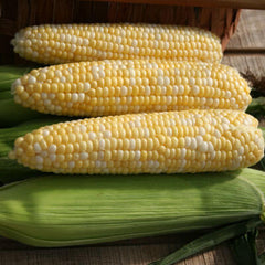 Sweet Corn Essence F1