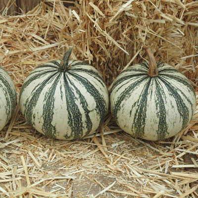 Squash Silver Edged Seeds