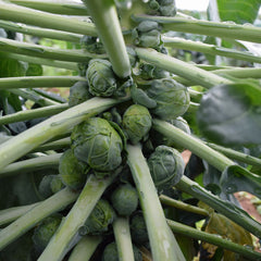 Brussels Sprouts Jade Cross F1