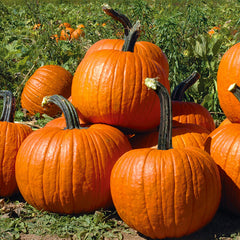 Powdery Mildew Protected Pumpkin Webinar