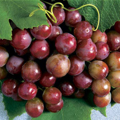 Grape Catawba