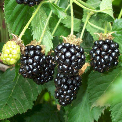 Blackberry Arapaho