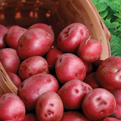 Potato Red Pontiac (50 lb bag)