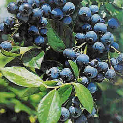 Blueberry Northern Collection