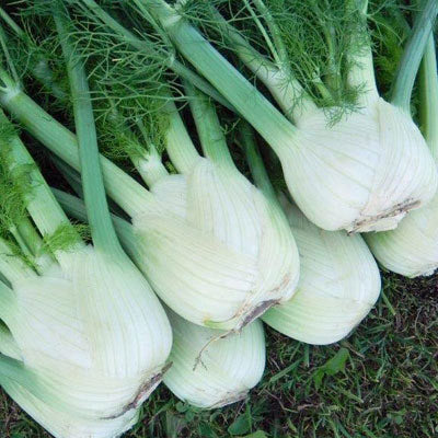 Fennel Preludio  F1