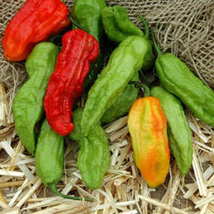 Pepper Ghost Pepper Multi-Colored