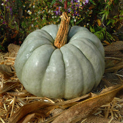 Pumpkin Blue Doll F1