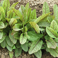 Green Blood-Veined Sorrel