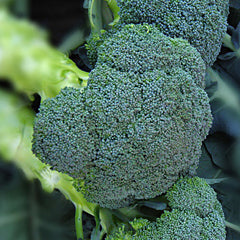 Broccoli Asteroid F1