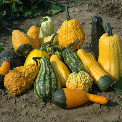 how to grow gourds from seed