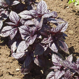 Basil Red Ruby
