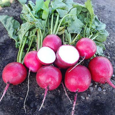 Radish Red Jewel F1
