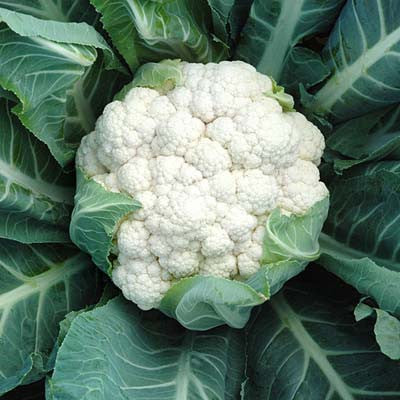 Cauliflower Aquarius F1