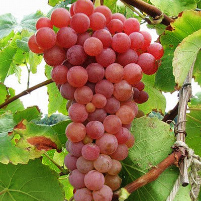 Grape Suffolk