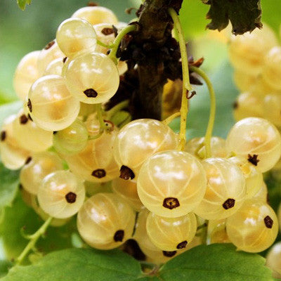 Currant White Imperial