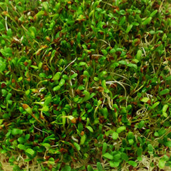 Alfalfa Sprouts Organic Seeds