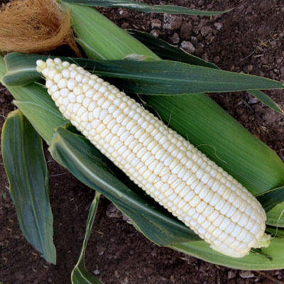 Sweet Corn XTH3973 F1 Seeds