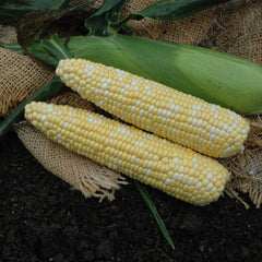 Sweet Corn Kickoff XR F1