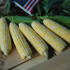Sweet Corn American Dream F1
