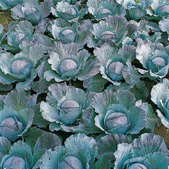 Cabbage Integro F1 Organic