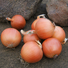 Onion Talon F1 Organic