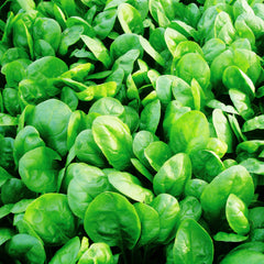 Spinach Corvair F1 Organic