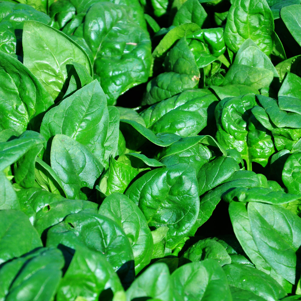 Spinach Regiment F1 Organic Seeds