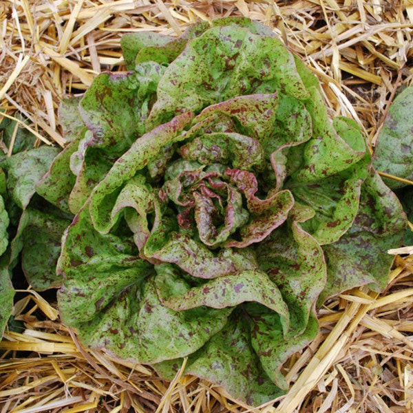 Lettuce Speckled Organic Seeds