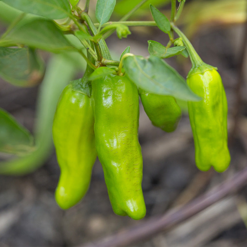 Pepper Takara F1 Seeds