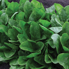 Spinach Imperial Green F1