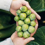 Brussels Sprouts Nautic F1 Organic