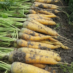 Carrot Yellow Stone Organic
