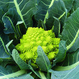 Cauliflower Veronica F1 Organic