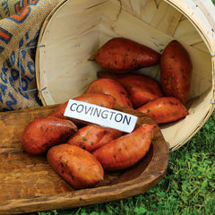 Sweet Potato Covington