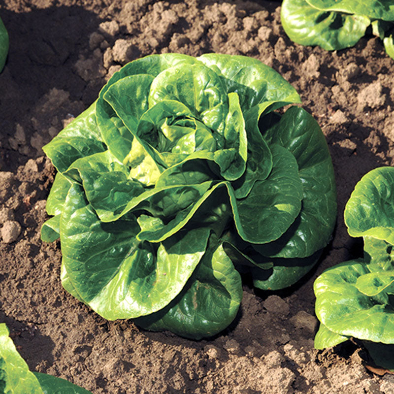 Lettuce Newham MTO Organic Seeds
